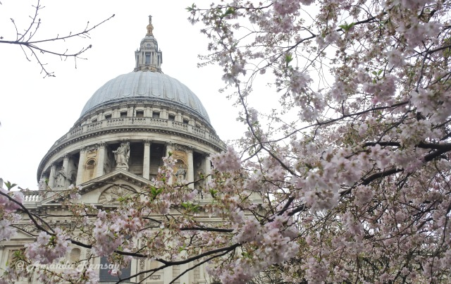 St Paul's Cathedral with Blossom_edited-1